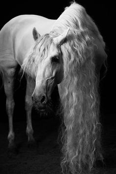 Romantic white horse with long wavy mane.
