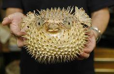 puffer fish - Google Search