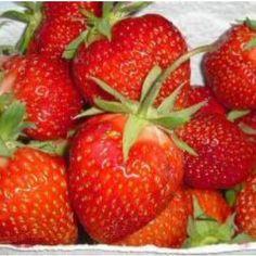 """Sorte Die Frühsorte """"Lambada"""" hat mittelgroße, kegelförmige Beeren mit ausgezeichnetem Geschmack. Die leuchtend mittelroten Früchte sind eher weicher und zerschmelzen richtig im Mund. Ob einfach pur genossen, in Desserts mit Joghurt, kreativen Salaten oder einfach als Marmelade, Erdbeeren sind in jeglicher Form ein Hochgenuss und für viele das Highlight des Gartenjahres. Das beliebte Rosengewächs lässt sich schon auf kleinstem Raum anbauen und liefern wertvolle Nährstoffe und Antioxydanzien… Fruit Garden, Garden Seeds, Alpine Strawberries, Grow Strawberries, Strawberry Background, Buy Flowers Online, Strawberry Plants, Beautiful Fruits, Beautiful Gardens"""