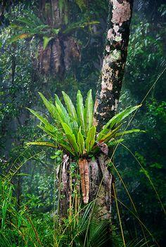 'Bird's Nest Fern, Daintree Rainforest' by Ian Beattie Tropical Garden Design, Tropical Landscaping, Tropical Plants, Wall Climbing Plants, Hanging Plants, Fern Plant, Trees To Plant, Orchid Plants, Air Plants