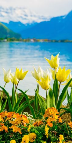 Yellow, White Flowers on Lake Geneva, with Swiss Alps, Montreux, Switzerland (Europe travel, vacation)