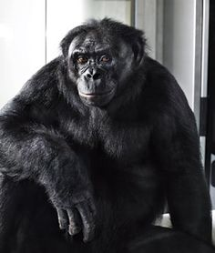 Inside the Minds of Animals - Fantastic article about the incredible, yet not surprising (to an animal lover like myself), intelligence of a bonobo named Kanzi.