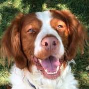 08/22/14~American Brittany Rescue :: Buddy, CT