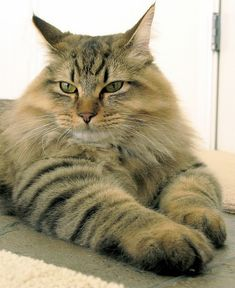Maine Coon bc our farm has big horses and big dogs. Why not big cats too?!?!?