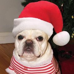 """Horizontal Striped shirt, and an Oversized Santa Hat""... ""as if I didn't already feel Chubby,"" French Bulldog posing for a Christmas Card."