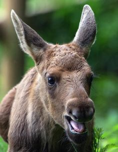Chatty baby moose.