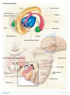 Hippocampus, anatomy and cortical regions Cranial Nerves Anatomy, Nerve Anatomy, Brain Anatomy, Medical Anatomy, Human Anatomy And Physiology, Body Anatomy, Nervous System Anatomy, Brain Science, Science Education