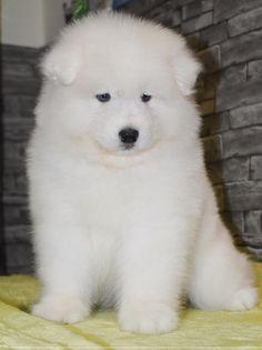 SAMOYED Stubborn Tricks FRIDGE MAGNET New DOG