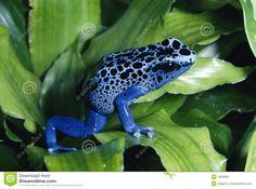 Grenouille Bleue De Dard De Poison - Télécharger parmi plus de 26 Millions des photos, d'images, des vecteurs et . Inscrivez-vous GRATUITEMENT aujourd'hui. Image: 1863828