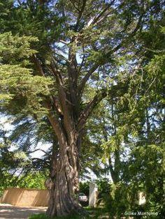 Cyprès de Lambert, hameau La Bouhière, Blaison-Gohier (Maine et Loire) | Krapo arboricole