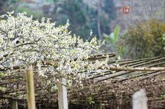 all about white blossoms  #plumblossom, #Vietnamhighland