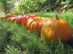 How to Harvest Winter Squash & Pumpkins