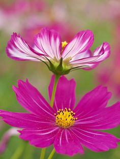 Cosmos ~ Have these & they are beautiful.  Be careful though...they are VERY prolific!!