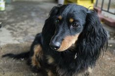 Image result for dog breeds with long hair