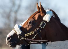 Dual Horse of the Year California Chrome (Lucky Pulpit) is reportedly settling in just fine at Taylor Made Stallions were he will begin his stallion career in 2017 (Video). Following his final start, an unplaced …