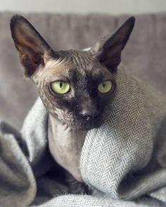 931 vind-ik-leuks, 16 reacties - Odessa & Azizi▫️Sphynx cats (@thewrinklebabes) op Instagram: 'Another cozy caturday! ✌ #catlife'