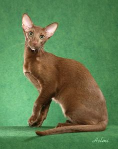 Oriental Shorthair - looks exactally like my Lavender OSH Mouse. I used to show him in CFA as a Premier. Pretty Cats, Beautiful Cats, Pretty Kitty, Beautiful Things, Kittens Cutest, Cats And Kittens, Siamese Cats, Kindness To Animals, Oriental Shorthair Cats