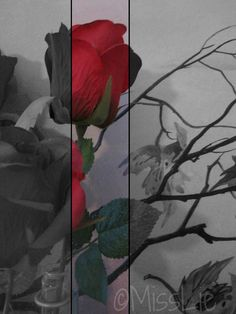 Roses. Black, White and Red.