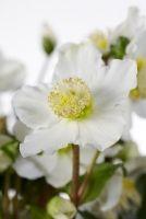 #Helleborus is een prachtige buitenplant voor de koude wintermaanden. De plant bloeit rijkelijk van eind november tot het vroege voorjaar.
