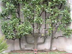 A pear tree espaliered into a cordon. The picture was taken in the garden of the Cloisters in upper Manhattan