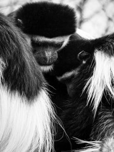 #colobus on a huddle  #blackandwhite #olympus