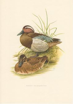 1957 Garganey Duck, Antique Print, Vintage Lithograph, Anas querquedula, Anatidae, Ornithology, Birds, Natural History