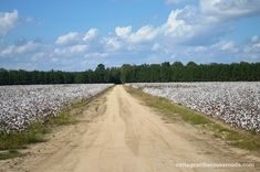 Everything about how cotton is grown and what it is used in making   Cottage at the Crossroads