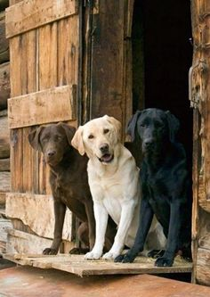 Mind Blowing Facts About Labrador Retrievers And Ideas. Amazing Facts About Labrador Retrievers And Ideas. Cute Puppies, Cute Dogs, Dogs And Puppies, Doggies, Big Dogs, I Love Dogs, Golden Retriever, Labrador Retrievers, Black Labrador Retriever