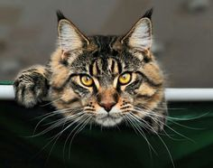 Kelimcoons Maine Coon Cats, Breeder of Maine Coon Cats