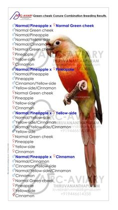 Green-cheek Conure Genetic and Mutations: Dominant Genes: Dominant Genes is only one parent needs to carry the gene for all babie. Conure Bird, Parakeet Bird, Pineapple Conure, African Lovebirds, Bird Breeds, Pineapple Yellow, Cockatiel, Cute Birds, Exotic Birds