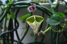 Ceropegia haygarthii, a flor-palhaço