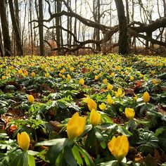 Eranthis Hyemalis - ein ganzes Waldstück voller gelber Winterlinge <3