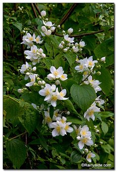 Philadelphus lewisii var gordonianus - mock orange syringa - beautiful, fragrant flowers