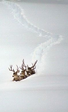 Mule deer headed for the low lands. Too much snow could mean starvation for many herds of deer and elk. Nature Animals, Animals And Pets, Cute Animals, Wild Animals, Baby Animals, Snow Scenes, Winter Scenes, Beautiful Creatures, Animals Beautiful