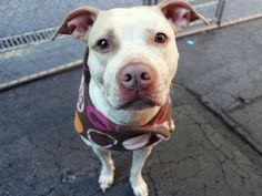Manhattan Center   MINT - A1025237   FEMALE, WHITE / BROWN, AMERICAN STAFF MIX, 2 yrs STRAY - ONHOLDHERE, HOLD FOR ID Reason STRAY  Intake condition EXAM REQ Intake Date 01/11/2015 https://www.facebook.com/photo.php?fbid=944234768922736