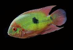 South American cichlid fish export Tropical Aquarium, Tropical Fish, Aquarium Fish, South American Cichlids, Cichlid Fish, Aquarium Ideas, Freshwater Fish, Siena, Marine Life