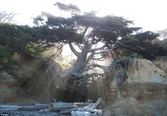 The unusual set up has come about through the cliff slowly eroding over time, but despite this, the giant tree continues to thrive
