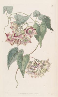 Philibertia gilliesii - circa 1843