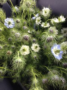 Love in the mist - Nigella