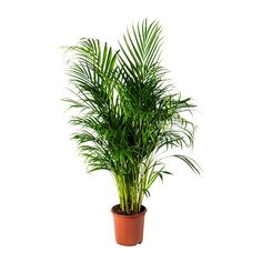 IKEA - DYPSIS LUTESCENS, Potted plant, Areca palm, Decorate your home with plants combined with a plant pot to suit your style. Native to Madagascar. Sensitive to draught. Ikea Plants, Potted Plants, Cactus Plants, Ficus Microcarpa Ginseng, Indoor Plants Online, Ikea Portugal, Luz Solar, Outside Plants, Packaging