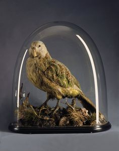 A Very Rare Mounted Specimen of the Extraordinary New Zealand Kakapo ( Strigops Haroptilus ). to 1900 New Zealand) - these birds are endangered Glass Bell Jar, Bell Jars, The Bell Jar, Glass Domes, Steampunk House, Faux Taxidermy, How To Preserve Flowers, Botanical Illustration, Natural History