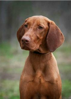 Vizsla. One of my favourites. Every Vizsla I have met has had a lovely, energetic nature