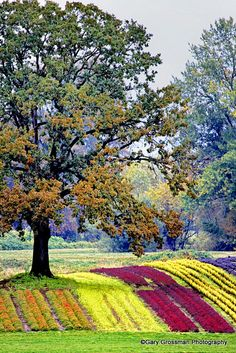 Colorful rows of kale and other winter crops, Oregon's Sauvie Island near Portland.