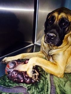 Emaciated dog with massive tumor rescued in Kentucky.  I cannot get my head around this.  Donations to help with Moonpie's care can be made at the Arrow Fund website at www.thearrowfund.org or checks may be mailed to The Arrow Fund P.O. Box 1127 Prospect , Kentucky 40059.