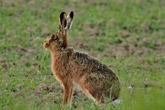 The brown hare is an icon of the British countryside, and a traditional game animal throughout the year. Learn more about the animal with our fact guide. Animal Fact File, Animal Facts, Shooting Accessories, March Hare, British Countryside, Traditional Games, Fishing Gifts, Bird Watching, Wildlife