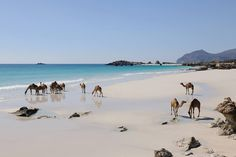 Camels on the Beach: Dhofar, Oman Sinbad Le Marin, Oman Tourism, Salalah Oman, Places To Travel, Places To See, Dubai, Naher Osten, Sultanate Of Oman, Oman Travel