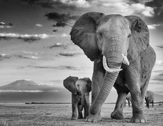 - China ,which was the largest market for , will ban all domestic sales of ivory products effective December… Elephant Love, Elephant Art, Elephant Tattoos, Elephants Never Forget, Save The Elephants, Safari Animals, Baby Animals, Cute Animals, Elephant Photography