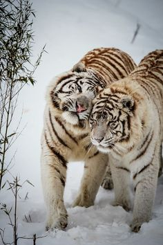 Winter Love - White tigers at Feline Park, France. By [Deadboxrunner] white tiger love Animals And Pets, Funny Animals, Cute Animals, Wild Animals, Baby Animals, Beautiful Cats, Animals Beautiful, Beautiful Pictures, Amazing Photos