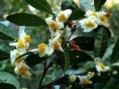 Camellia Sinensis-Backyard Tea | American Camellia Society         - making tea