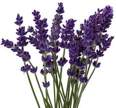 How to Grow Lavender, with guide to different varieties